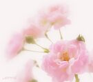 Rose collection 1 by aMOONy