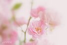 Rose collection 3 by aMOONy