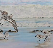 Sanderlings by Mike Paget