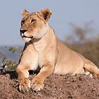 Mara Lioness by Sue Earnshaw