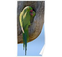 Kissing Ring-necked Parakeets Poster