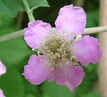 Blooming blackberry bush by presbi