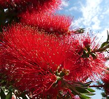 Concert for sky and flowers: Callistemon by presbi