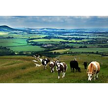 Cattle on the South Downs Photographic Print