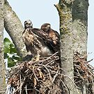 Red Tailed Hawk Nest: Portrait of Junior and Mom by David Friederich