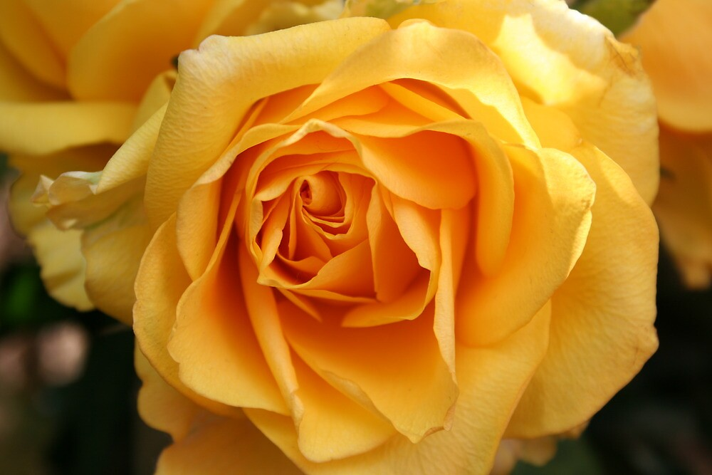 Yellow Rose by v-something