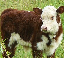 Hereford Calf by Margaret Stockdale