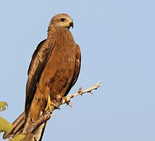 Black Kite by Jeremy Weiss