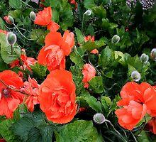 Poppies by Bluesrose