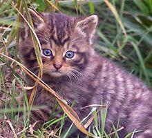Wildcat Kitten by Krys Bailey