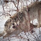 Timber Wolves Fighting by Yannik Hay