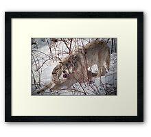Timber Wolves Fighting Framed Print