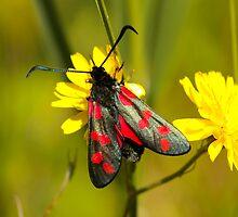 Burnet Moth by Robert Abraham