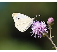 CABBAGE BUTTERFLY Photographic Print
