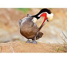 Brown Pelican Preening Photographic Print