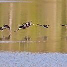 Hooded Mergansers Take Off 3 - Harles couronnés - Parc National Mont Tremblant  by Yannik Hay