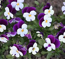 Pretty Pansies by Indrani Ghose
