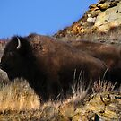 Badlands Bison by Kay Kempton Raade
