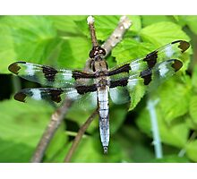 Handsome Male Twelve-Spotted Skimmer. Photographic Print