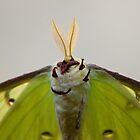 Luna moth - underside by Robert Kelch, M.D.