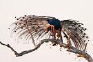 Peacock by Neil Bygrave (NATURELENS)