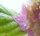 Hydrangea 6 - After rain by aMOONy