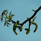 Walnut tree by Ana  Marija