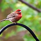 House Finch by Kathy Weaver