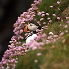 Puffin In Sea Pinks by Gary Buchan