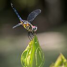 Dasher on Hibiscus Bud by Briar Richard