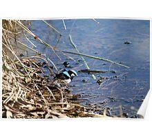 Blue wren , Laratinga Wetlands, Mount barker, S.A. Poster