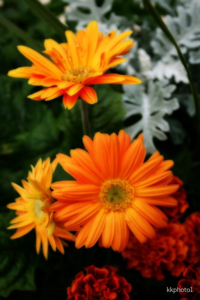 Tangerine Colored Gerbera's by kkphoto1