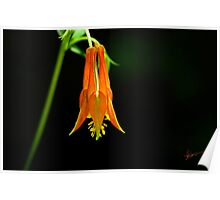 Southwestern Red Columbine Poster