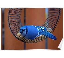 BlueJay @ the Feeder Poster