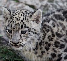Baby Snow Leopard by Larry Trupp