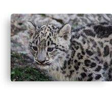 Baby Snow Leopard Canvas Print