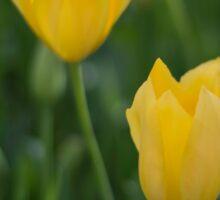 Yellow Crown Tulips Sticker