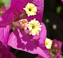 Bougainvillea Flowers by jean-louis bouzou