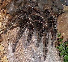 Bird Eating Spider by Kathy Newton