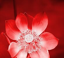 Red Lotus by Carole-Anne
