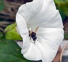 Bee On Flower 0009 by mike1242