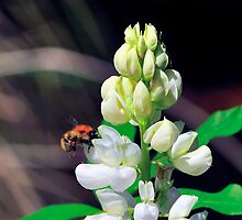 Bee On Flower 0007 by mike1242