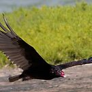 Turkey Vulture by Regenia Brabham