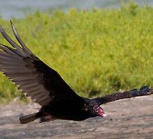 Turkey Vulture by Regenia Brabham