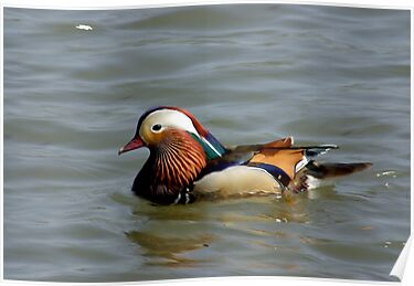 Mandrin Duck by Trevor Kersley