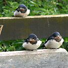 Swallow Chicks  by Trevor Kersley
