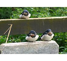 Swallow Chicks  Photographic Print