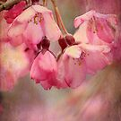 Cherry Blossoms by Chris Armytage™