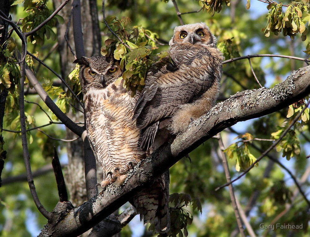 Body Language / Great Horned Owls  by Gary Fairhead