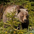 Grizzly by Kerri Gallagher